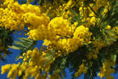 Mimosa flower 624 — Stock Photo