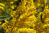 Mimosa flower 620 — Stock Photo