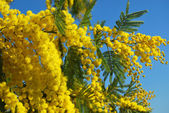 Mimosa flower 614 — Stock Photo