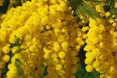 ミモザの花 612 — ストック写真