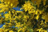 Mimosa flower 607 — Stock Photo