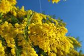 Мимоза Цветок 583 — Стоковое фото