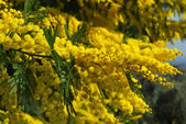 A plant of Mimosa symbol of March 8, International Women's Day — Stock Photo