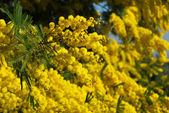 Mimosa flower 561 — Stock Photo