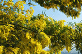 Mimosa flower 556 — Stock Photo