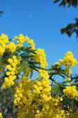 Mimosa flower 552 — Stock Photo
