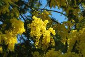 Fleur mimosa 547 — Photo