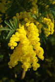 Mimosa flower — Stock Photo
