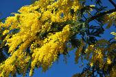 Fiore di mimosa 539 — Foto Stock
