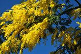 Flor de mimosa 538 — Foto de Stock