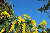 Mimosa flower 510 — Stock Photo
