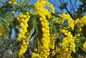 Mimosa flower 499 — Stock Photo