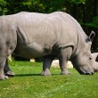 White Rhino — Foto de Stock