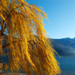 Weeping Willow - Lake — Stock Photo