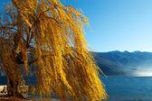 Weeping Willow - Lake — Stock Photo