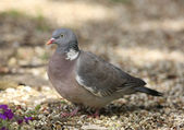 Woodpigeon — Stock Photo