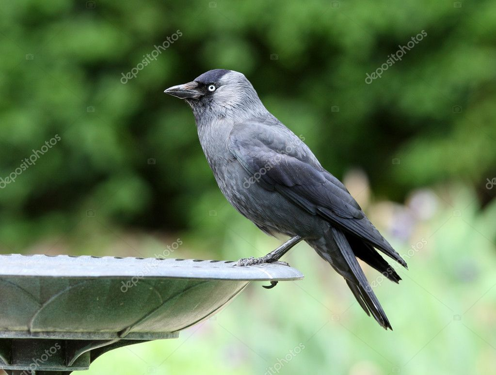 Close up ogf a Jackdaw — Stock Photo #10646666