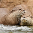 Oriental Short Clawed Otters — Stock Photo