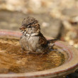 House Sparrow — Stock Photo