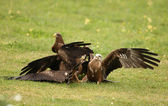 Black Kites — Foto de Stock