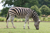 Male Zebra — Stock Photo