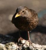 Female Blackbird — Stock Photo