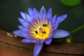 Water Lily with Ants — Stock Photo