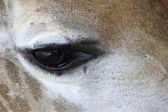 Eye of a Giraffe — Stock Photo
