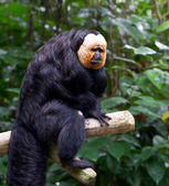 White Faced Saki Money (Pithecia Pithecia) — Stock Photo