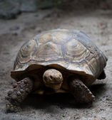 African Spurred Tortoise (Geochelone sulcata) — Stock Photo