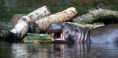 Hippopotamus (Hippopotamus Amphibius) — Stock Photo