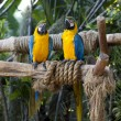Blue and Yellow Macaw (Ara Ararauna) - Stock Photo