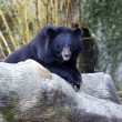 Stock Photo: AsiBlack Bear (Ursus thibetanus)