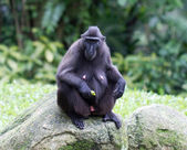 Celebes Crested Macaque (Macaca Nigra) — Stock Photo