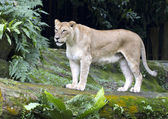 Female Lioness — Stock Photo