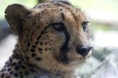 Cheetah (Acinonyx jubatus) Up Close — Stock Photo