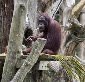 Orangutang — Stockfoto