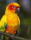 Sun Conure Parrot (Aratinga solstitialis) — Stock Photo