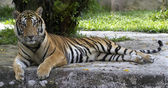 Tiger(Panthera tigris) — 图库照片