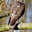 Northern Sparrow Hawk — Stock Photo