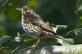 A Song thrush with spotted breast can sing very beautifully — Stock Photo