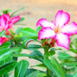 Stock Photo: Impala Lily Adenium