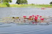 Lotus flower — Stock Photo