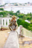 Monkey eat fruit in Thai — Stock Photo