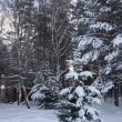 Stock Photo: Winter spruce frorest landsacpe