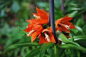 Fritillaria imperialis Aurora 2 — Stock Photo
