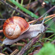 Garden snail (Helix aspersa) — Stock Photo