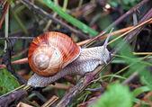 Garden snail (Helix aspersa) — Stock Photo