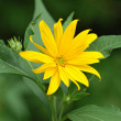 Jerusalem artichoke or girasol (Helianthus tuberosus) — Stock Photo #10146962