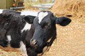 Calf — Stock Photo